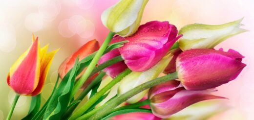 full hd tulips wallpaper